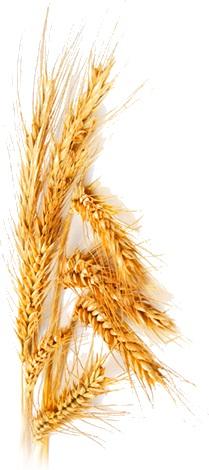 масло пшеницы
